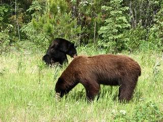 Black Bear & Brown Bear Eating together