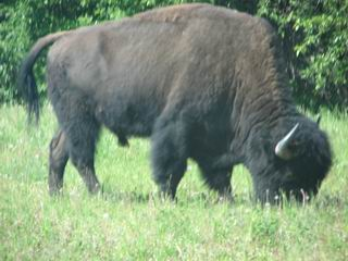 Buffalo as big as Campers