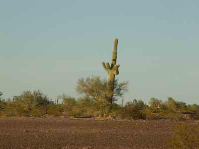 Quartzsite Cactus