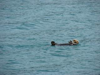 Sea otter in Valdez Harbor
